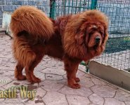 HONG WANG CHENG KENNEL